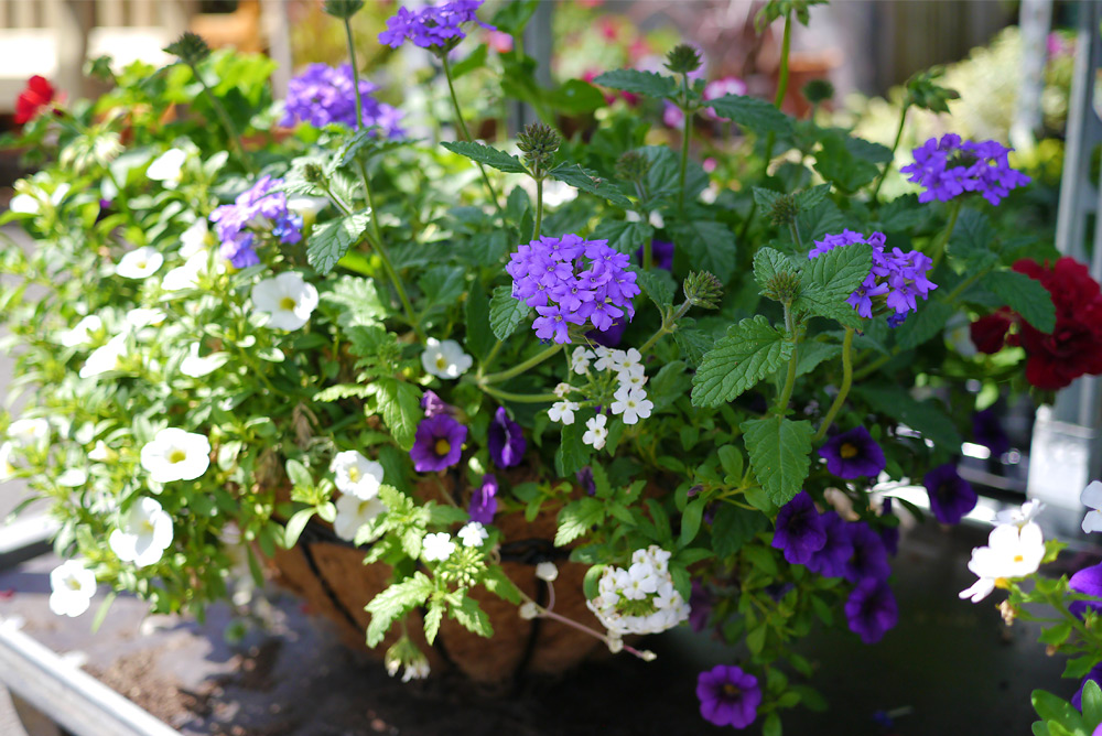 Purple Hanging baskets