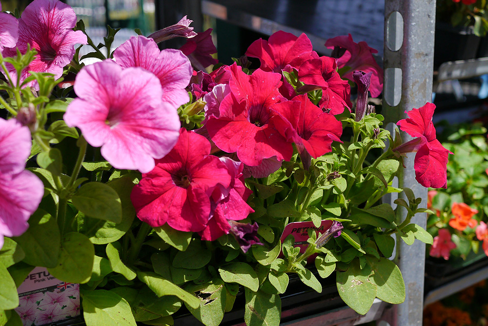 Petunias mixed colours